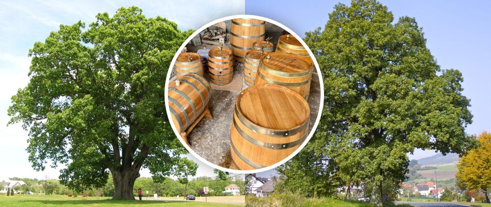 Gỗ sồi Pháp và gỗ sồi Mỹ - Sự khác biệt là gì?